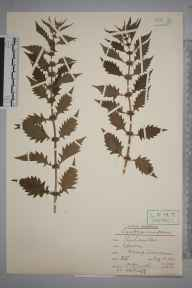 Lycopus europaeus herbarium specimen from Epsom, VC17 Surrey in 1937 by Rev. Philip Henry Cooke.