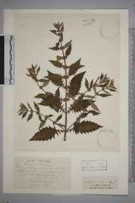 Lycopus europaeus herbarium specimen from Saint Cross, Winchester, VC11 South Hampshire in 1834 by J Breach.