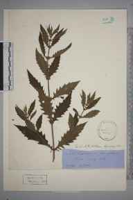 Lycopus europaeus herbarium specimen from Rye, VC14 East Sussex in 1906.