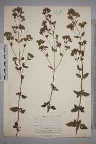 Origanum vulgare herbarium specimen from Colley Hill, VC17 Surrey in 1907 by Dr G Hodgson.