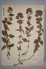 Origanum vulgare herbarium specimen from Portland, VC9 Dorset in 1904 by Charles Smith Nicholson.