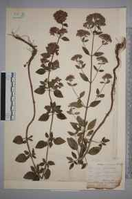 Origanum vulgare herbarium specimen from Clearbrook, VC3 South Devon by Mr Allan Octavian Hume.