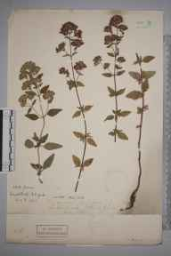 Origanum vulgare herbarium specimen from Oswaldkirk, VC62 North-east Yorkshire in 1906.