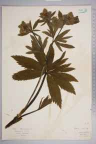 Helleborus viridis herbarium specimen from Oxhey, VC20 Hertfordshire in 1922 by Mr Isaac A Helsby.