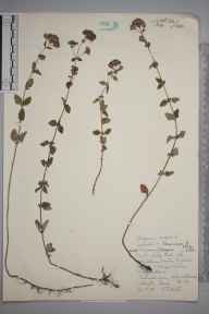 Origanum vulgare herbarium specimen from Addington, VC17 Surrey in 1959 by John H Hewitt.