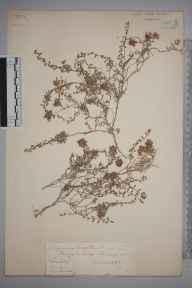 Thymus serpyllum herbarium specimen from Reigate Hill, VC17 Surrey in 1885 by Mr William Hadden Beeby.
