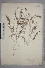 Thymus serpyllum herbarium specimen from Litlington, VC14 East Sussex in 1908 by William Robert Sherrin.