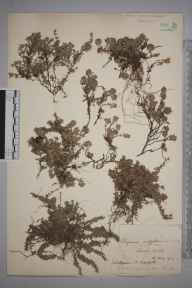 Thymus serpyllum herbarium specimen from Chesil Beach, VC9 Dorset in 1919 by William Robert Sherrin.