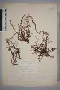 Thymus serpyllum herbarium specimen from Craig Cerrig-gleisiad, VC42 Breconshire in 1920 by Mr William Charles Barton.