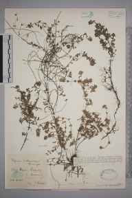 Thymus serpyllum herbarium specimen from Polperro, VC2 East Cornwall in 1928 by Mr Francis Rilstone.