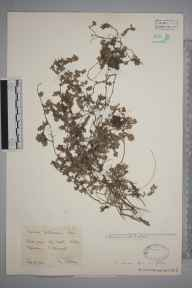 Thymus  herbarium specimen from Polperro, VC2 East Cornwall in 1928 by Mr Francis Rilstone.