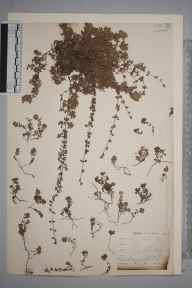 Thymus serpyllum herbarium specimen from Loe Pool, VC1 West Cornwall by Mr Allan Octavian Hume.