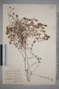 Thymus serpyllum herbarium specimen from Nore Hill, VC17 Surrey in 1934 by Mr Charles Edward Britton.