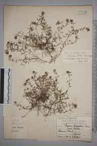 Thymus serpyllum herbarium specimen from Lower Morden, VC17 Surrey in 1910 by Mr Charles Edward Britton.