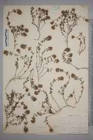 Thymus  herbarium specimen from Porthleven, VC1 West Cornwall in 1899 by Mr Allan Octavian Hume.