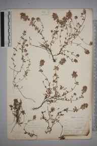 Thymus polytrichus herbarium specimen from Burnham Beeches, VC24 Buckinghamshire in 1897 by Mr Allan Octavian Hume.