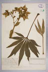 Helleborus foetidus herbarium specimen from Boxley Hills, VC15 East Kent in 1879 by Mr William Hadden Beeby.