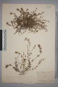 Thymus chamaedrys herbarium specimen from Telscombe, VC14 East Sussex in 1903 by Thomas Hilton.