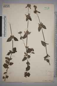 Clinopodium  herbarium specimen from Dunstable, VC20,VC30 in 1894 by S A Chambers.