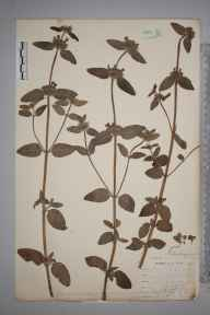 Clinopodium  herbarium specimen from East Looe, VC2 East Cornwall by Mr Allan Octavian Hume.
