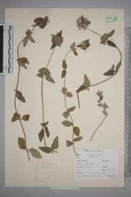 Clinopodium  herbarium specimen from Mere, VC8 South Wiltshire in 1937.