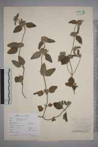 Clinopodium  herbarium specimen from Combe Saint Nicholas, VC5 South Somerset in 1937.