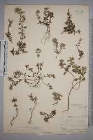 Calamintha arvensis herbarium specimen from Beachy Head, VC14 East Sussex in 1907 by Mr Allan Octavian Hume.