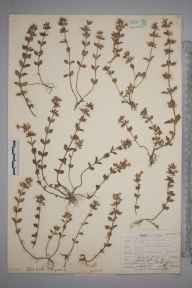 Calamintha arvensis herbarium specimen from Box Hill, VC17 Surrey in 1908 by Mr Allan Octavian Hume.
