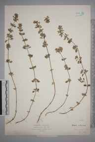 Calamintha arvensis herbarium specimen from Stone, Horns Cross, VC16 West Kent in 1926 by Mr Isaac A Helsby.