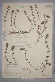 Calamintha arvensis herbarium specimen from Bourton Downs, VC33 East Gloucestershire in 1936 by Mr Job Edward Lousley.