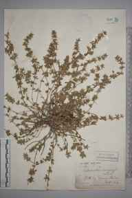 Calamintha arvensis herbarium specimen from Epsom Downs, VC17 Surrey in 1882 by Ernest Straker.