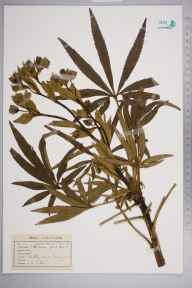 Helleborus foetidus herbarium specimen from Headly Lane, Surrey, VC17 Surrey in 1942 by John Richard Wallis.