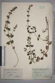 Clinopodium calamintha herbarium specimen from Kelvedon, VC19 North Essex in 1890 by L Vaughan.