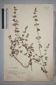 Clinopodium calamintha herbarium specimen from Fulmer, VC24 Buckinghamshire in 1904 by William Robert Sherrin.