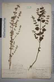 Clinopodium ascendens herbarium specimen from Barmouth, VC48 Merionethshire in 1842.