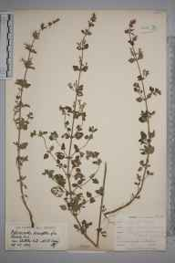Clinopodium calamintha herbarium specimen from Audley End, VC19 North Essex in 1902 by Mr James Groves.