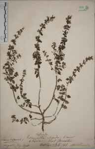 Clinopodium calamintha herbarium specimen from Stanton, VC34 West Gloucestershire in 1888 by Rev. Augustin Ley.
