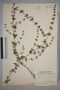 Clinopodium calamintha herbarium specimen from Lydbrook, Worrall Hill, VC34 West Gloucestershire in 1935 by Mr Job Edward Lousley.