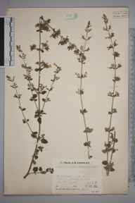 Clinopodium calamintha herbarium specimen from Wakes Colne, VC19 North Essex in 1933 by Mr Job Edward Lousley.