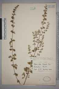 Clinopodium calamintha herbarium specimen from Babraham, VC29 Cambridgeshire in 1932 by Mr George Goode.