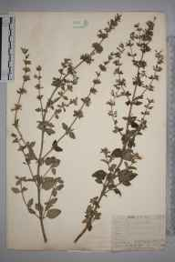 Clinopodium calamintha herbarium specimen from Erith, VC16 West Kent in 1910 by William Henry Griffin.