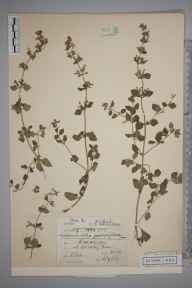 Clinopodium calamintha herbarium specimen from Croxley Green, VC20 Hertfordshire in 1903 by Charles Smith Nicholson.