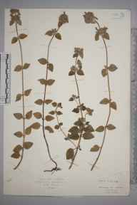 Clinopodium ascendens herbarium specimen from Watford, VC20 Hertfordshire in 1925 by Mr Isaac A Helsby.