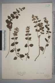 Clinopodium ascendens herbarium specimen from Sheringham, VC27 East Norfolk in 1922 by Mr Isaac A Helsby.