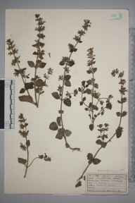 Clinopodium ascendens herbarium specimen from Watcombe, VC3 South Devon in 1922 by Mr Job Edward Lousley.