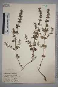 Clinopodium ascendens herbarium specimen from Sutton, VC17 Surrey in 1932.