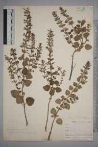 Clinopodium ascendens herbarium specimen from West Looe, VC2 East Cornwall in 1900 by Mr Allan Octavian Hume.