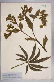 Helleborus foetidus herbarium specimen from Headly Lane, Surrey, VC17 Surrey in 1926 by Mr Job Edward Lousley.