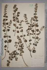 Clinopodium ascendens herbarium specimen from Gunwalloe, VC1 West Cornwall in 1899 by Mr Allan Octavian Hume.
