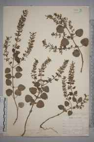 Clinopodium ascendens herbarium specimen from Saint Anthony in Roseland, VC2 East Cornwall in 1899 by Mr Allan Octavian Hume.